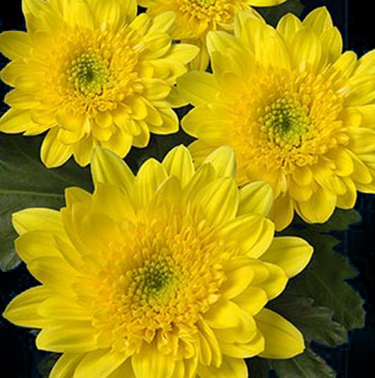 Цветы амарис