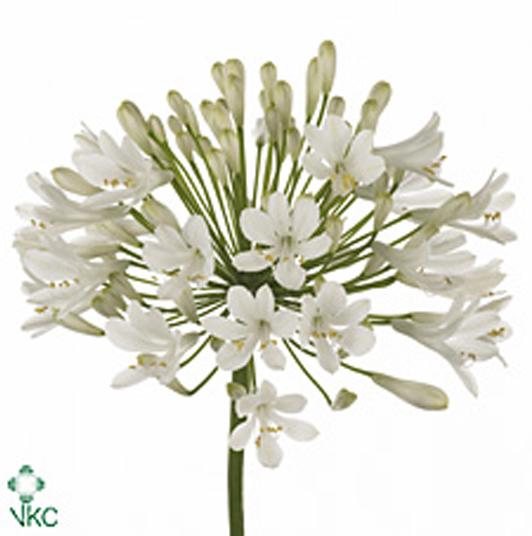Антуриум фото комнатные цветы фиалки