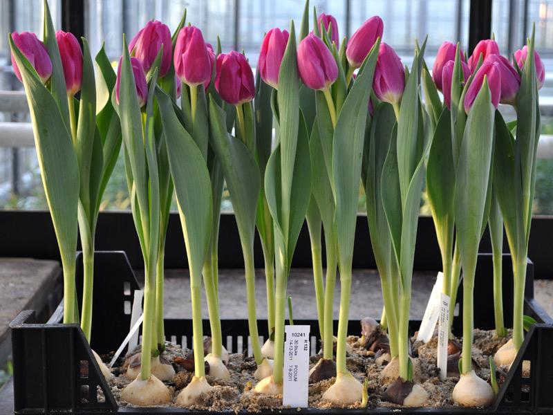 Выращивание тюльпанов 70